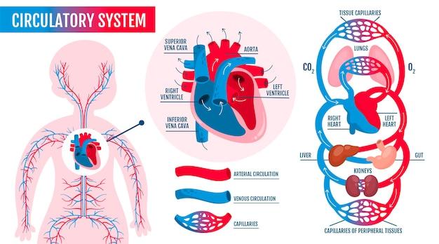 Infográfico desenhado à mão do sistema circulatório Vetor grátis