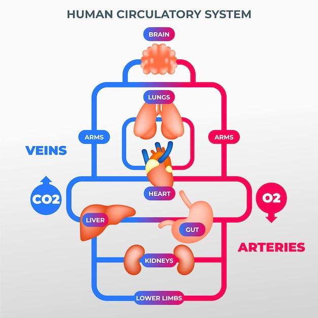 Infográfico do sistema circulatório de gradiente Vetor grátis