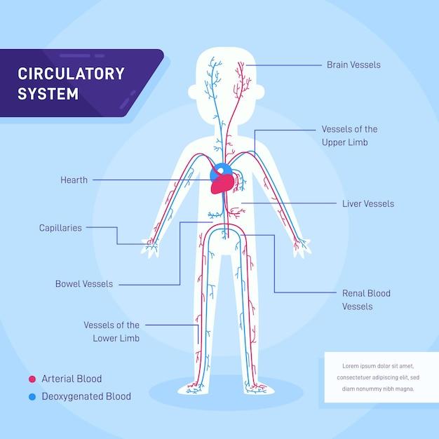 Infográfico do sistema circulatório em design plano Vetor grátis