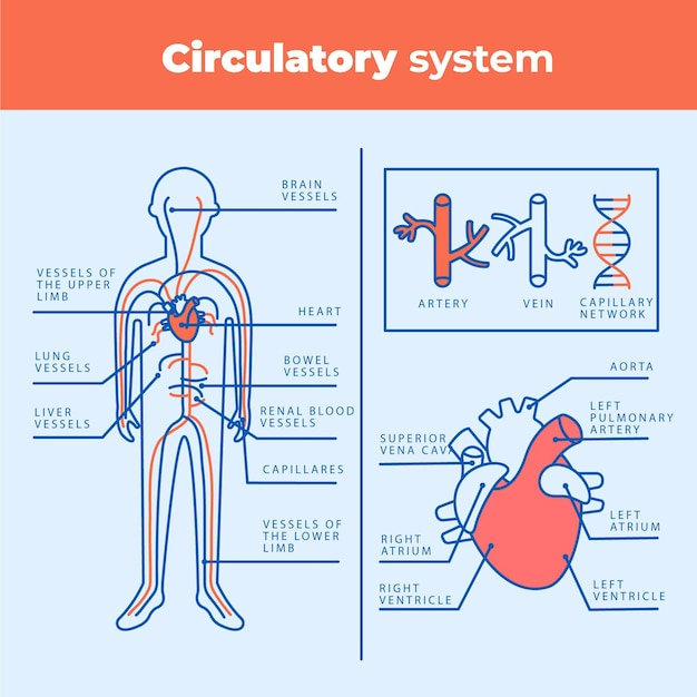 Infográfico do sistema circulatório linear Vetor grátis