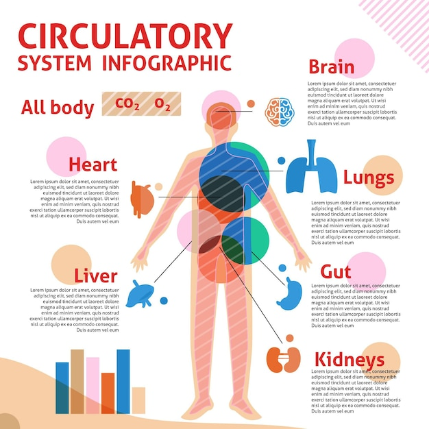 Infográfico linear do sistema circulatório Vetor grátis