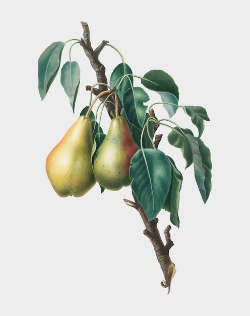Lemon pear from pomona italiana ilustração Vetor grátis