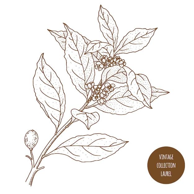 Louro Folha De Louro Ilustracao Em Vetor Botanica Vintage Mao