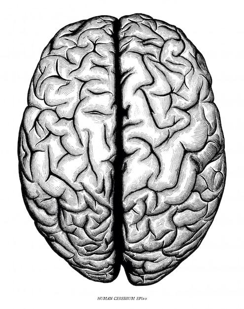 Mão de vista superior do cérebro humano desenhar vintage gravura isolado no fundo branco Vetor Premium