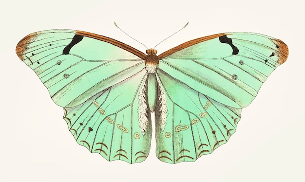 Mão desenhada de borboleta laertes Vetor grátis