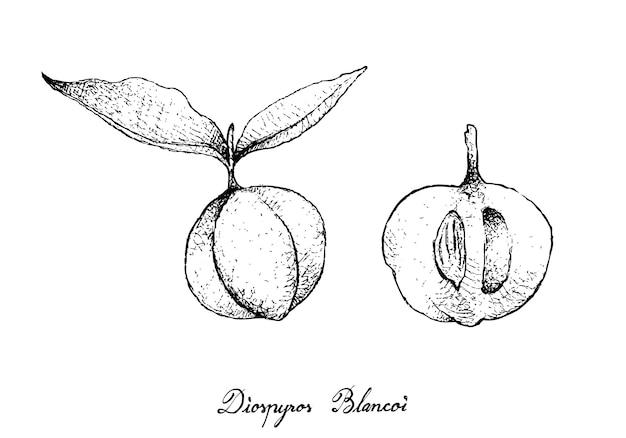 Mão desenhada de frutas diospyros blancoi Vetor Premium