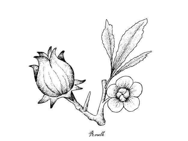 Mão desenhada de hibiscus sabdariffa ou roselle Vetor Premium