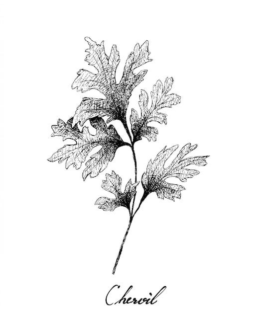 Mão desenhada de planta cerefólio fresco em branco Vetor Premium