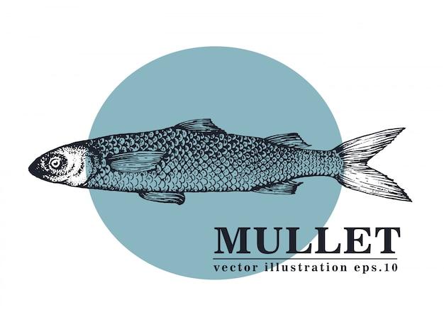 Mão desenhada ilustração vetorial de peixe mullet. Vetor Premium