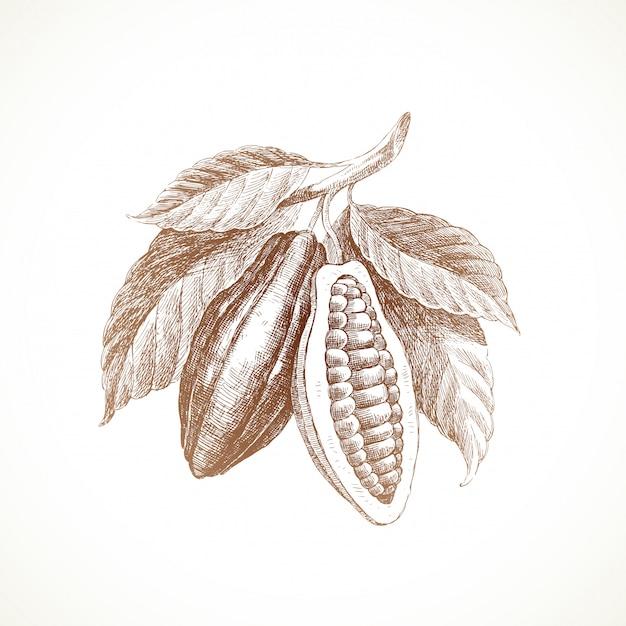 Mão ilustrações desenhadas - grãos de cacau com folhas. Vetor Premium