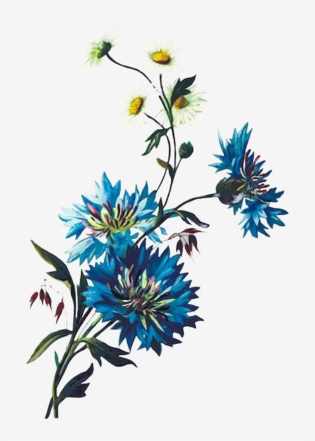 Margarida e cornflowers Vetor grátis