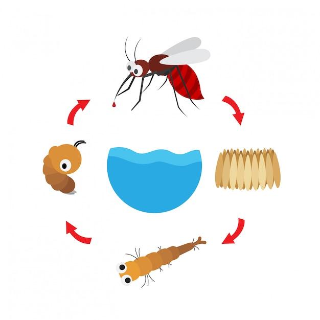 Mosquito de ciclo de vida de ilustração Vetor Premium
