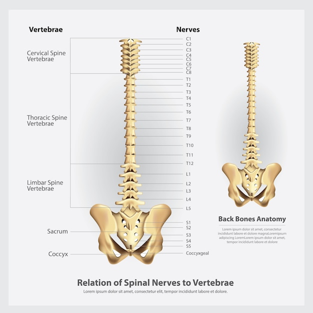 Nervos espinhais e segmentos de vértebras e ilustração de raízes Vetor Premium