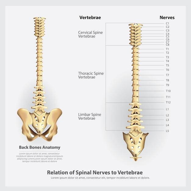 Nervos espinhais e segmentos e raízes das vértebras Vetor Premium