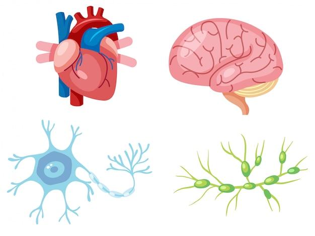 Órgãos humanos e células neuron Vetor Premium
