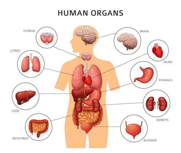 Órgãos internos do corpo humano Vetor Premium