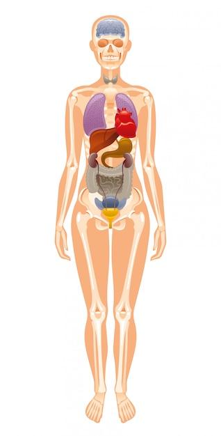 Órgãos internos humanos e anatomia do esqueleto. Vetor Premium