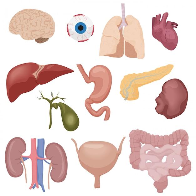 Os órgãos internos das peças do corpo humano ajustaram-se isolado. Vetor Premium