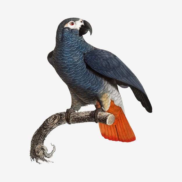 Papagaio cinzento africano Vetor grátis