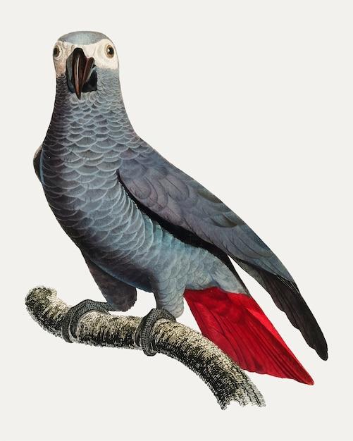 Papagaio cinzento congo Vetor grátis