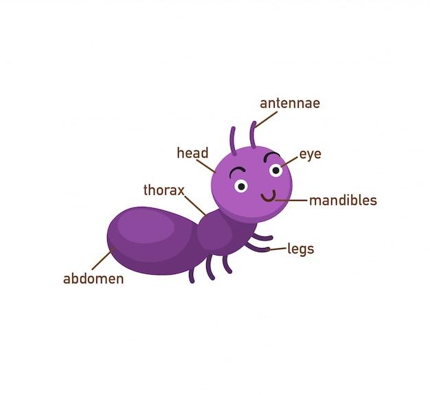 Parte de vocabulário de formiga de body.vector Vetor Premium