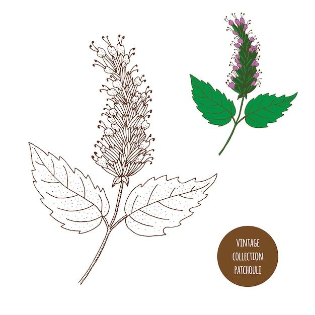 Patchouli. vetorial mão desenhado conjunto de plantas cosméticas isolado no fundo branco Vetor Premium