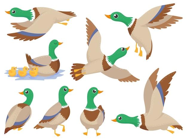 Patos selvagens, pato-real, ganso voador bonito e conjunto de desenhos animados isolados canard natação verde Vetor Premium