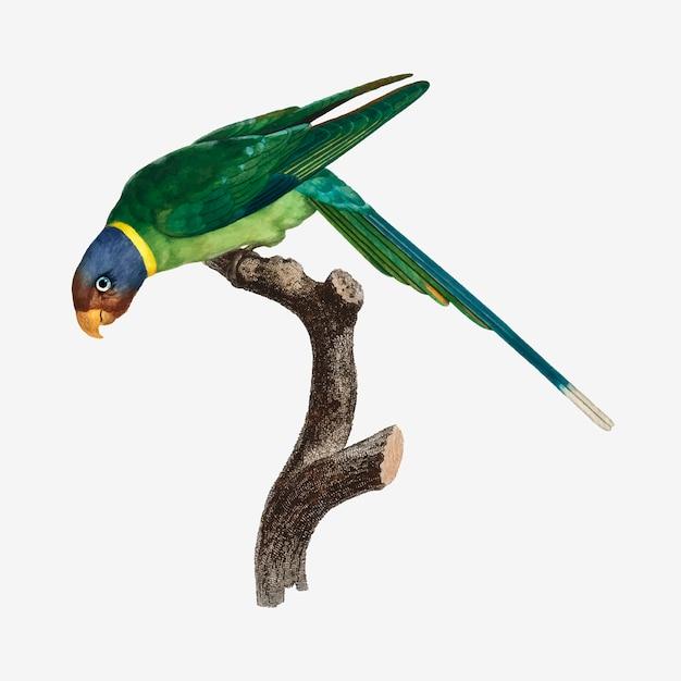 Periquito-de-cabeça-ameixa Vetor grátis