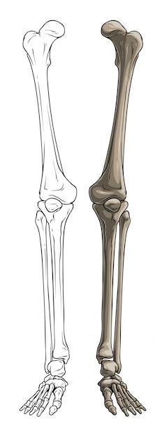 Pernas de osso humano em preto e branco gráfico Vetor Premium