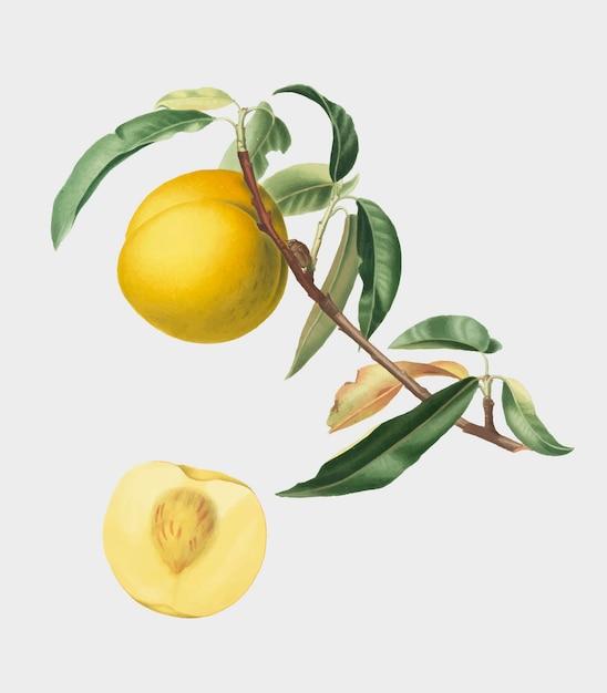 Pêssego da ilustração de pomona italiana Vetor grátis