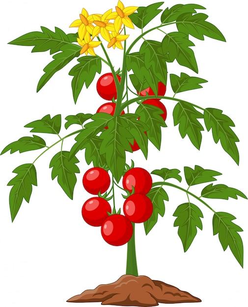 Planta de tomate dos desenhos animados isolada na ilustração branca Vetor Premium