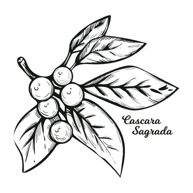 Planta de uva-ursina de cascara sagrada com as folhas verdes isoladas. rhamnus purshiana, espinheiro cascara sagrada e jargão de chinook, chittem stick e chitticum frangula purshiana. Vetor Premium