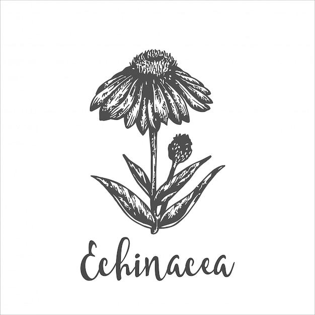 Planta echinacea purpurea. esboço desenhado de mão de flores silvestres. ilustração em vetor de ervas. design para etiquetas e embalagens. desenho botânico gravado gravura de ervas vintage. Vetor Premium