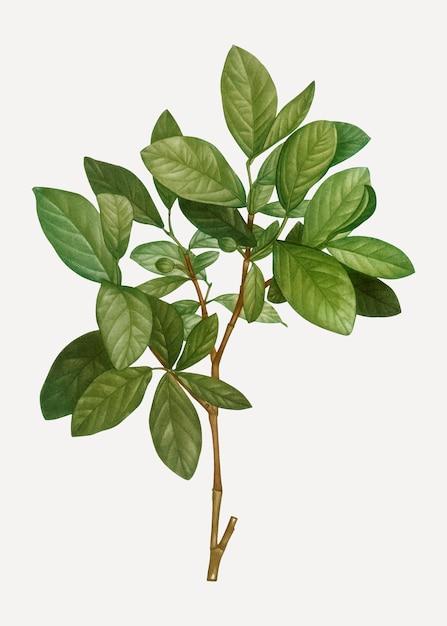 Planta leatherwood oriental Vetor grátis