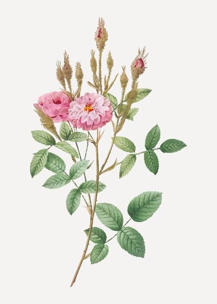 Pompon musgo rosa Vetor grátis