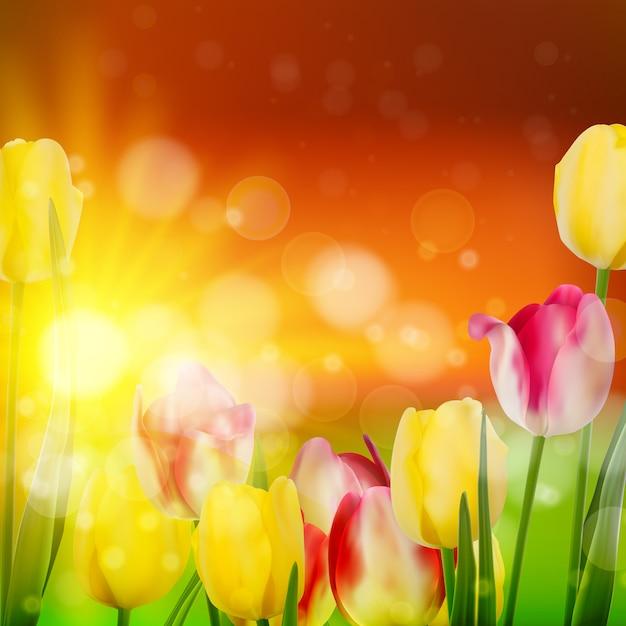 Pôr do sol sobre o campo de tulipa colorida. Vetor Premium