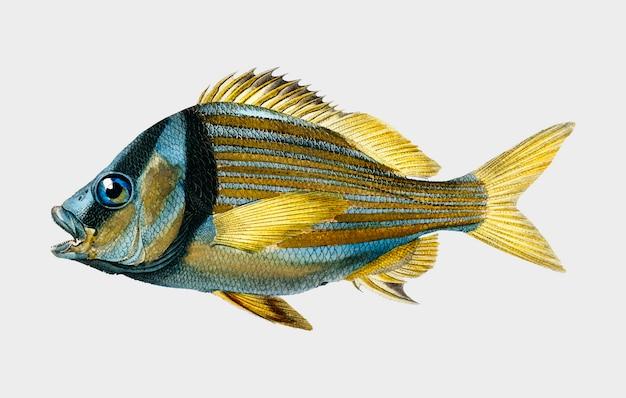 Porkfish (pristipoma virginianum) ilustrado por charles dessalines d'orbigny (1806-1876). Vetor grátis