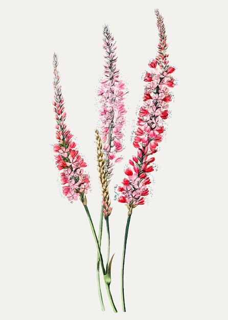 Ramo de flor vintage polygonum stem-clasping para decoração Vetor grátis