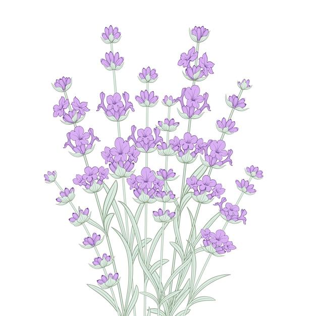 Ramo de flores de lavanda. Vetor Premium