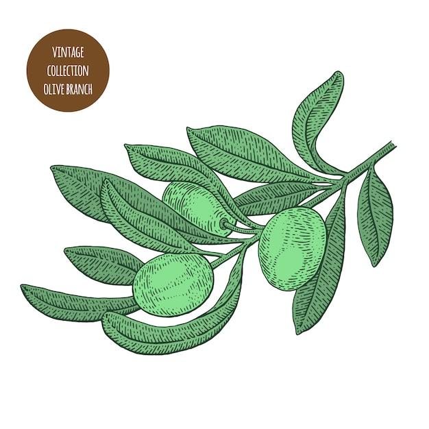 Ramo de oliveira com azeitonas Vetor Premium