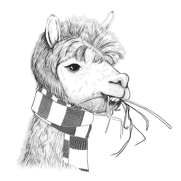 Retrato de alpacas, lhamas. lama em um lenço. Vetor Premium