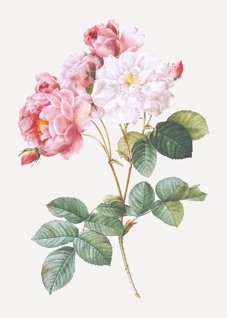 Rosa damskus rosa Vetor grátis