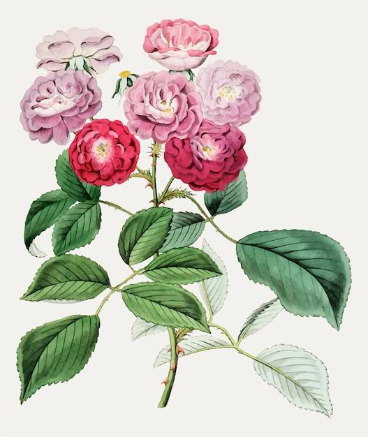 Rosas de escalada Vetor grátis