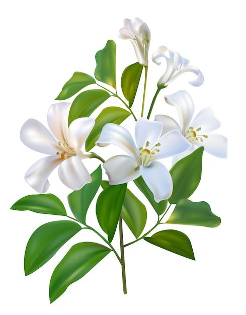 Sampaguita jusmine flor branca e folhas verdes Vetor Premium