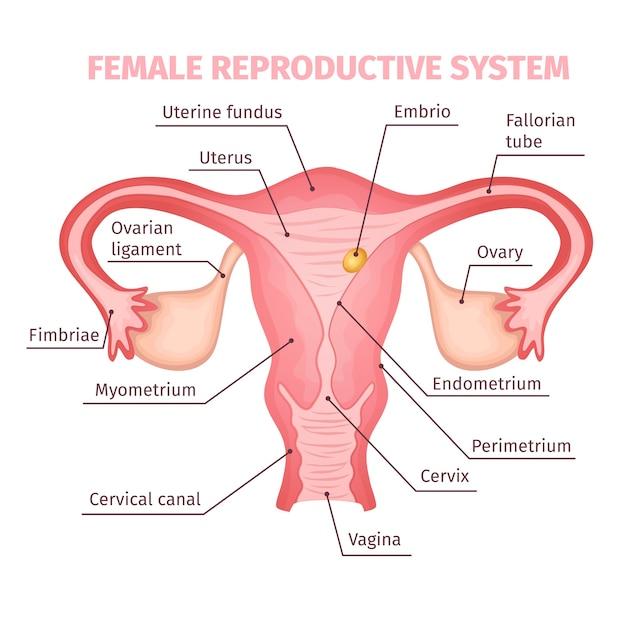 Sistema reprodutivo feminino científico Vetor grátis