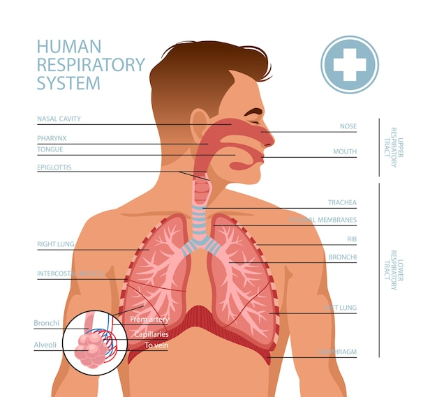 Sistema respiratório humano. Vetor Premium