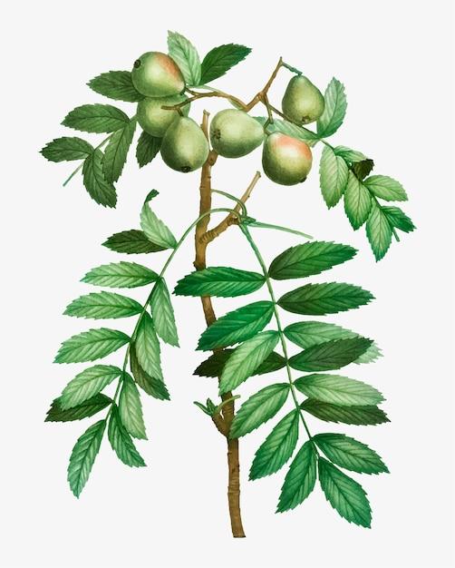 Sorb macieira Vetor grátis