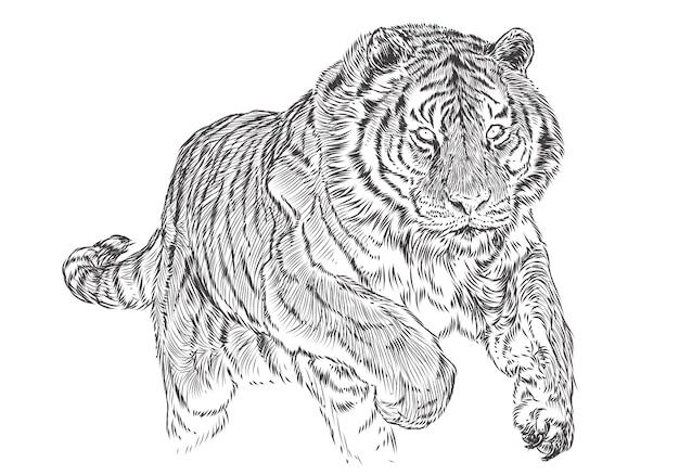 Tigre Ataque Mao Desenhar Croqui Linha Preta Monocromatico
