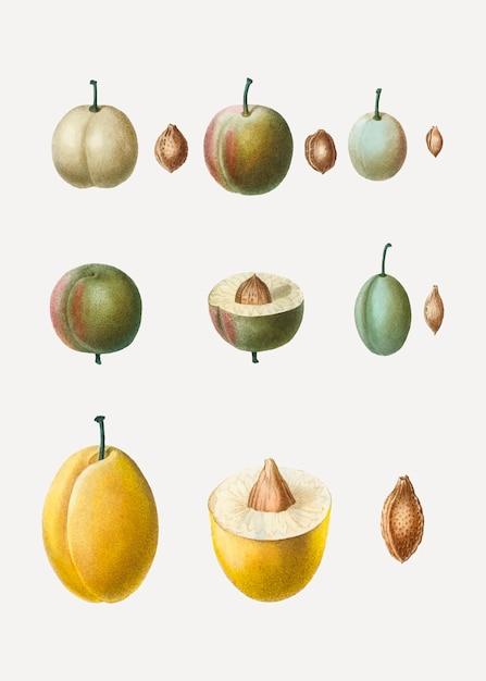 Tipos comuns de ameixa Vetor grátis