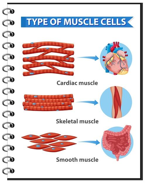 Tipos de células musculares para educação em saúde infográfico Vetor grátis